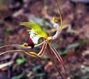 AUB Green Spider Orchid